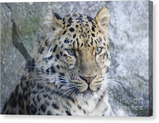 The Stare Of A Leopard Canvas Print