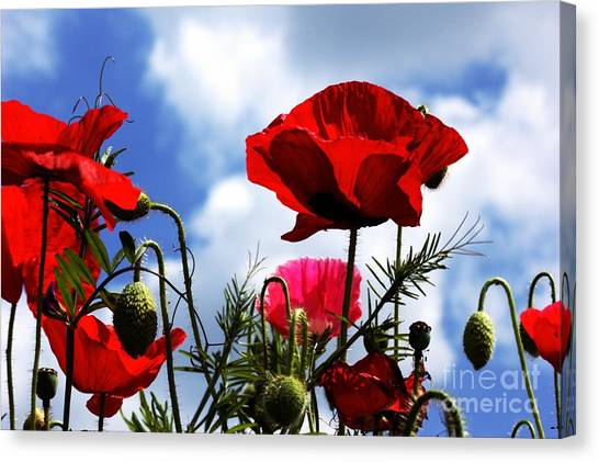 The Summer Poppy Canvas Print