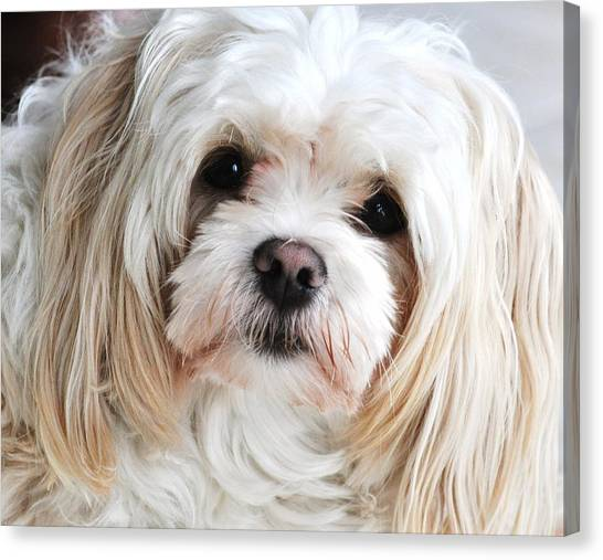 The Sweetest Maltese Canvas Print