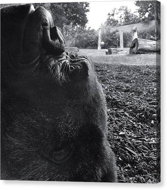 Apes Canvas Print - The Toledo Zoo Has A Huge History With by Eric Shanteau