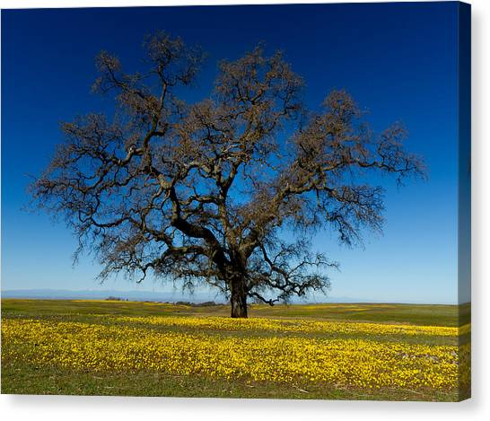 The Tree On Table Mountain Canvas Print