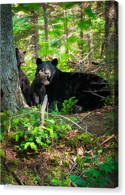 The Ultimate Single Mother Black Bear Sow And Cubs Canvas Print