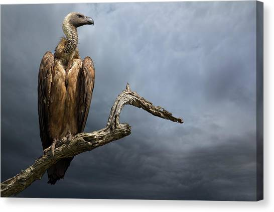 Avian Canvas Print - The Vulture by Mario Moreno