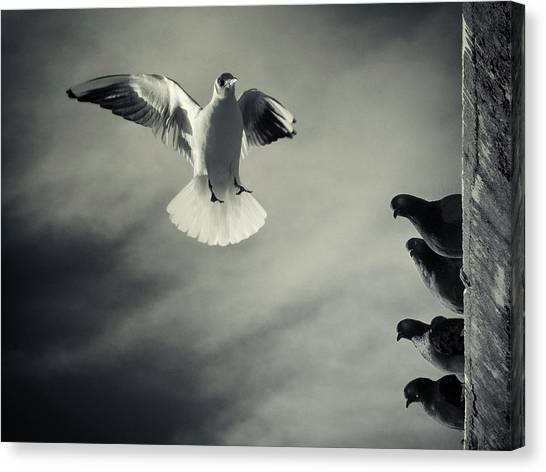 Seagulls Canvas Print - The White And The Blacks by Marco Bianchetti