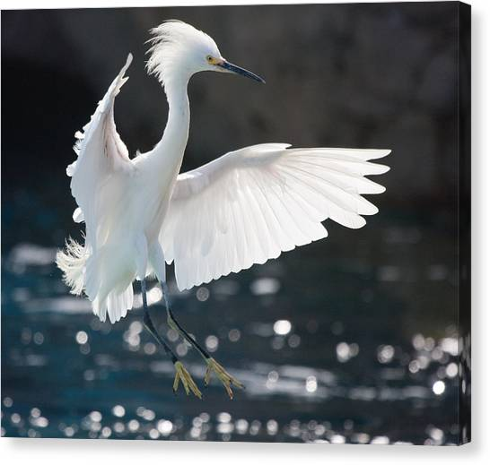 The White Winged Wonder Canvas Print