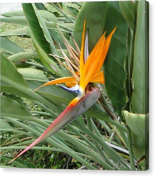 The Wilting Bird Of Paradise Canvas Print