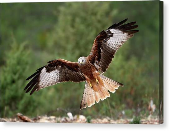 Winged Canvas Print - The Wings Of The Red Kite by Nicol??s Merino