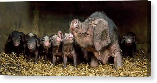 Hogs Canvas Print - The Wrinkled Ones by Gert Van Den