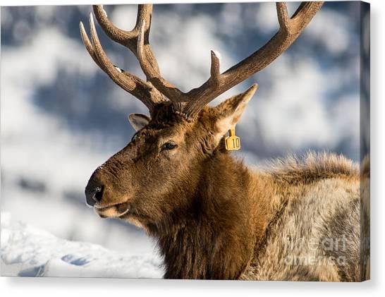 The Yellowstone Elk # 10 Canvas Print