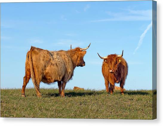 There Can Be Only One Highland Cow Canvas Print