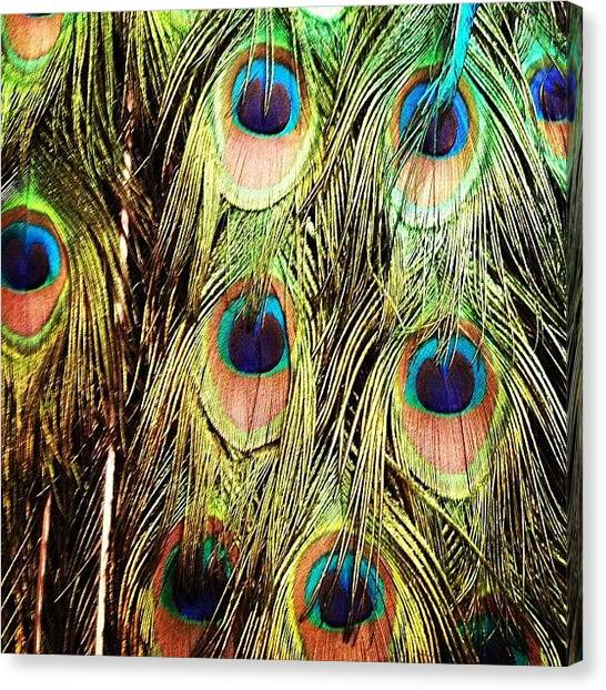 Colorful Canvas Print - Peacock Feathers by Blenda Studio