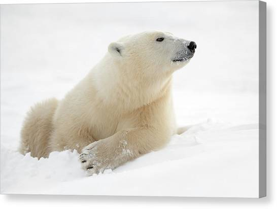 Polar Bears Canvas Print - There's Something In The Air by Marco Pozzi