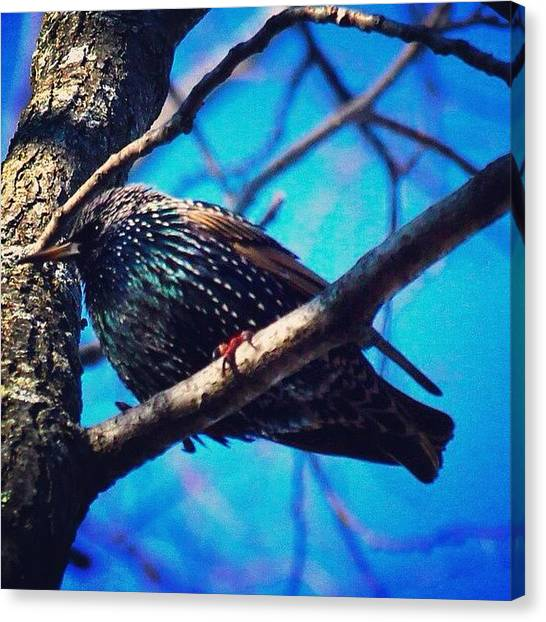 Starlings Canvas Print - Starling Perched by Roth Gray