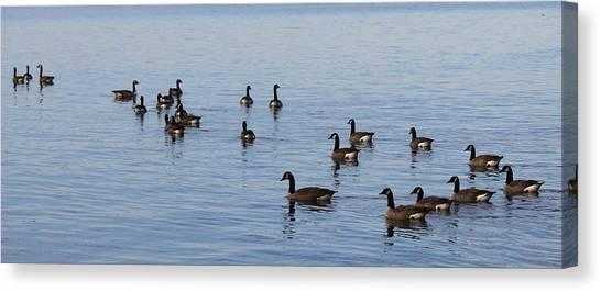 They Are Swimming Canvas Print by Carolyn Ricks