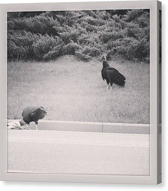 Vultures Canvas Print - They Found Dinner #roadkill #vulture by Robb Needham