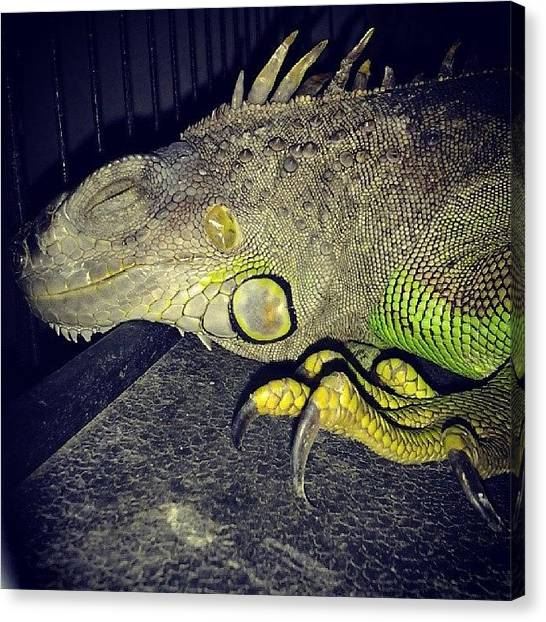 Iguanas Canvas Print - They Grow Up So Fast. #iggy #iguana by Theresa Kidd