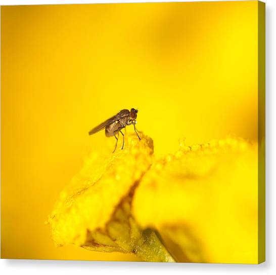 Thirsty Fly Canvas Print by Sarah Crites