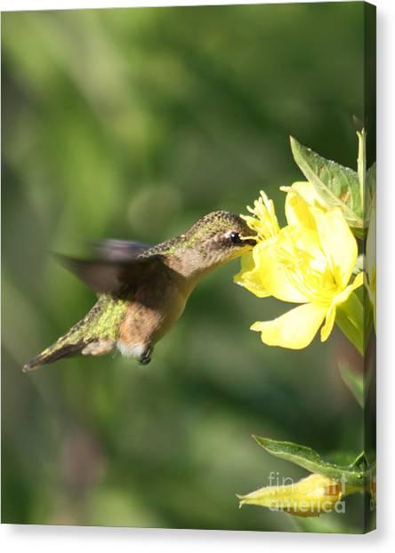 Thirsty Little Hummingbird Canvas Print