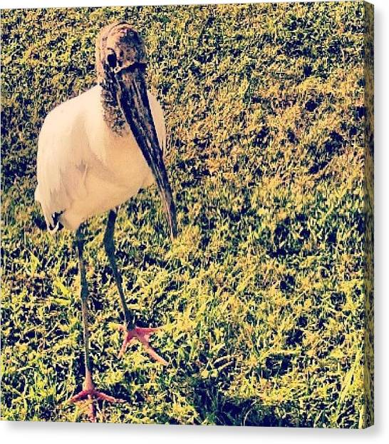 Storks Canvas Print - This A Wood Stork That Comes To by Emily Murray