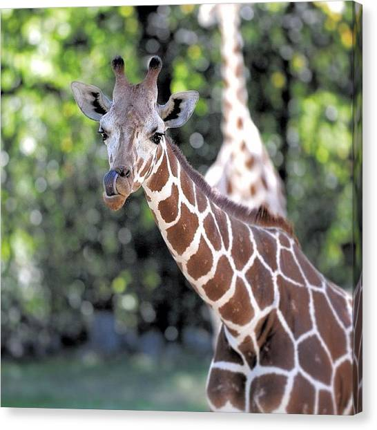 Giraffes Canvas Print - This Guy Was Really Frisky And by Diana Daley