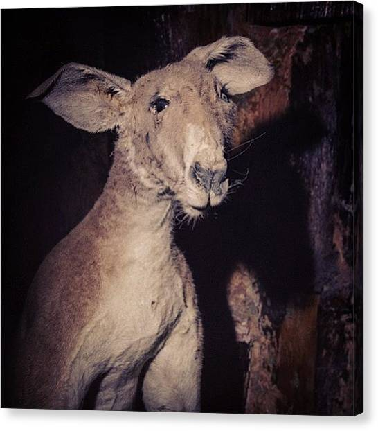 Kangaroo Canvas Print - This Is A Stuffed Taxidermied by Kitschnewbitch Bennet