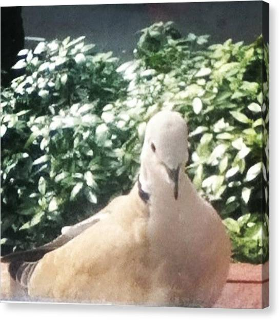 Dove Canvas Print - This Is Little 'egg' This Years by Manchester Flick Chick