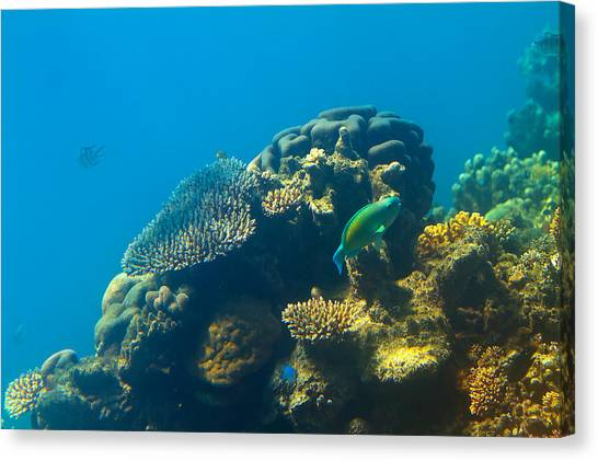 Parrot Fish Canvas Print - This Is Why They Call It The Great Barrier Reef by Mr Bennett Kent