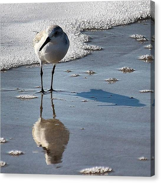 Sandpipers Canvas Print - Sanderling by Roth Gray
