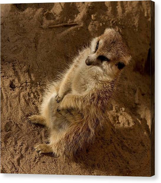 Meerkats Canvas Print - This Little Bugger Right Here Was Doing by Jesse Vargas
