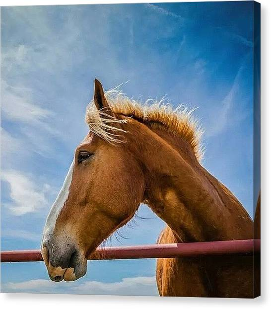 Saddles Canvas Print - This #little #horse Is Very #friendly by Robert Bellomy
