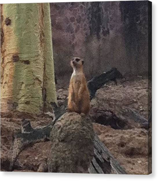 Spam Canvas Print - This Meerkat Says Hi. :) #insta by Zoe Sutter