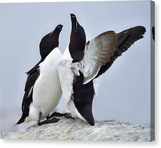 Razorbills Canvas Print - This Much by Tony Beck