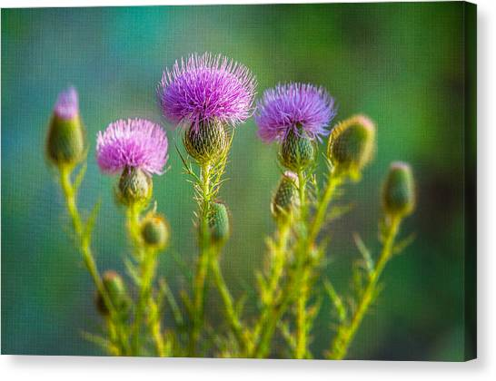 Thistle In The Sun Canvas Print