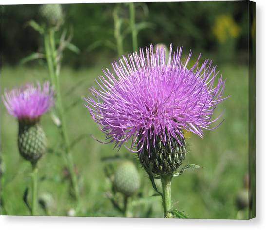 Thistle Canvas Print by Jill Bell