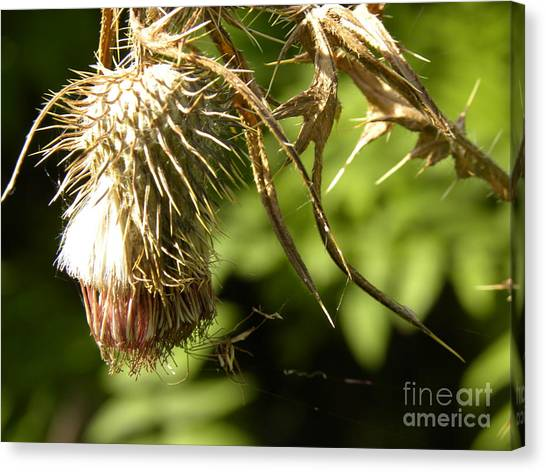Thistle Canvas Print by Laura Yamada