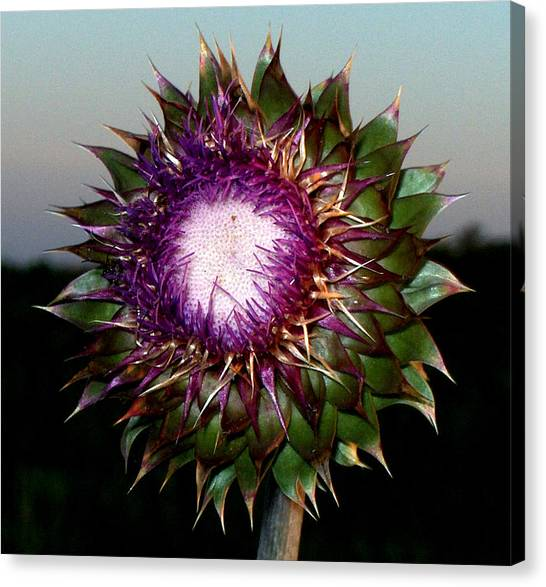 Thistle Night Canvas Print