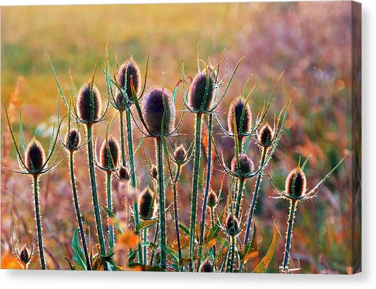 Thistles With Sunset Light Canvas Print