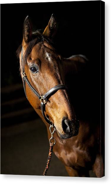 Thoroughbreds Canvas Print - Thoroughbred Race Horse by Samuel Whitton