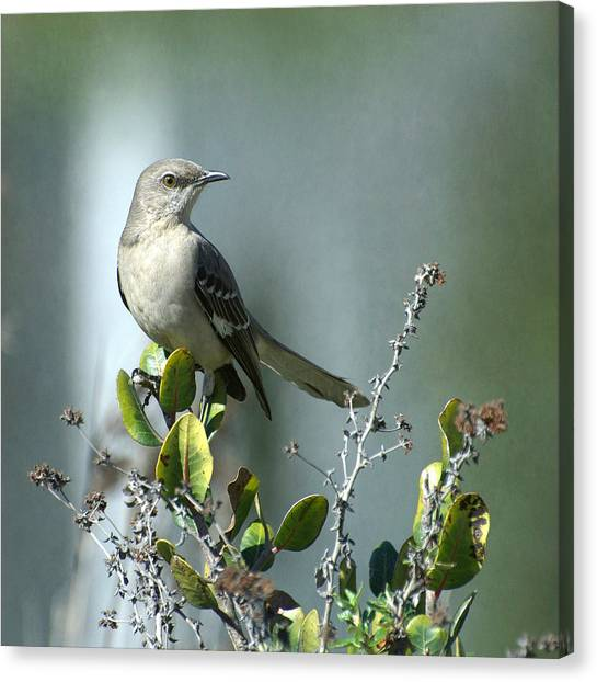 Mockingbird Canvas Print - Thou Shalt Not Mock by Fraida Gutovich