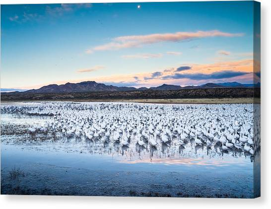Goose Canvas Print - Snow Geese And Sandhill Cranes Before The Sunrise Flight - Bosque Del Apache, New Mexico by Ellie Teramoto