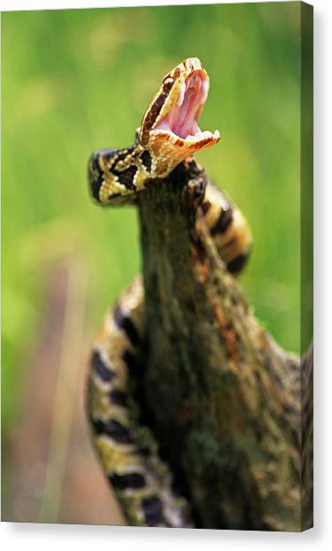 Cottonmouths Canvas Print - Threatening By Displaying Fangs by Animal Images