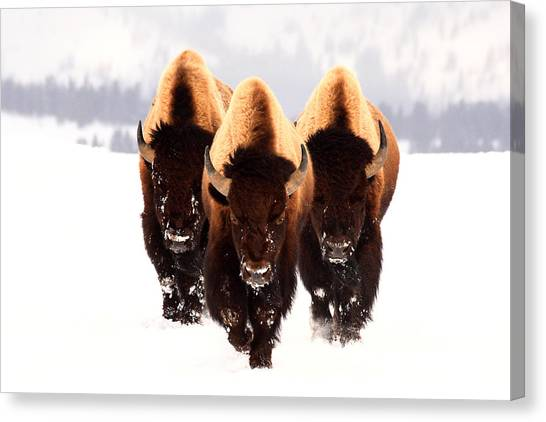 Buffalo Canvas Print - Three Amigos by Steve Hinch