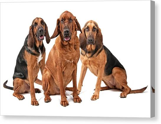 Dea Canvas Print - Three Bloodhound Dogs Isolated On White by Susan Schmitz