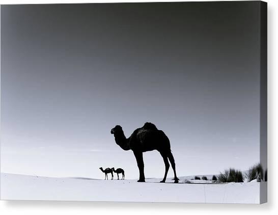 Three Camels In The Sahara Desert Canvas Print by Zodebala
