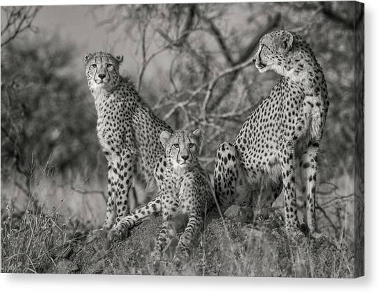 South Africa Canvas Print - Three Cats by Jaco Marx