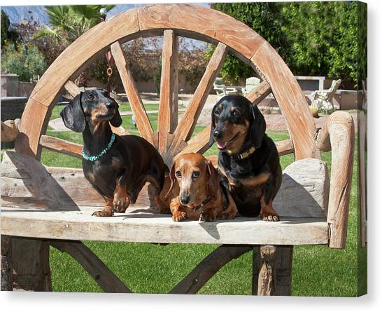 Dachshunds Canvas Print - Three Dachshunds Together On A Wooden by Zandria Muench Beraldo