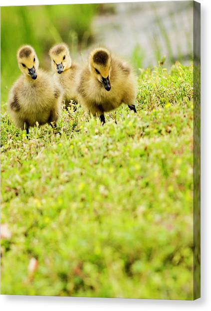Three Day Old Goslings Canvas Print by Catlane