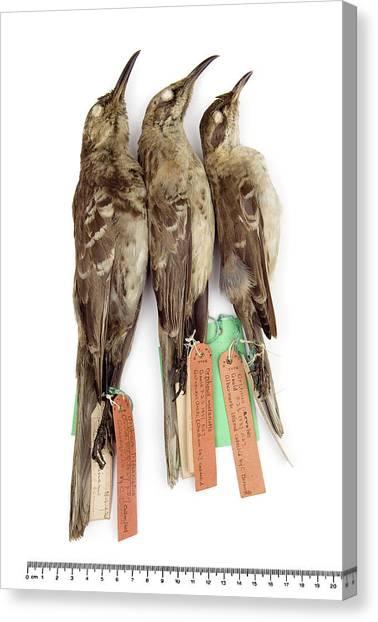 Mockingbirds Canvas Print - Three Galapagos Mockingbirds by Natural History Museum, London/science Photo Library