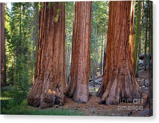Redwood Forest Canvas Print - Three Graces Yosemite by Jane Rix