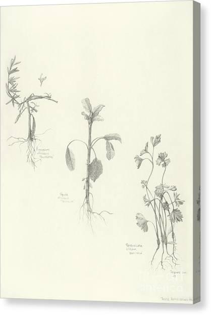 Three Herbs Canvas Print